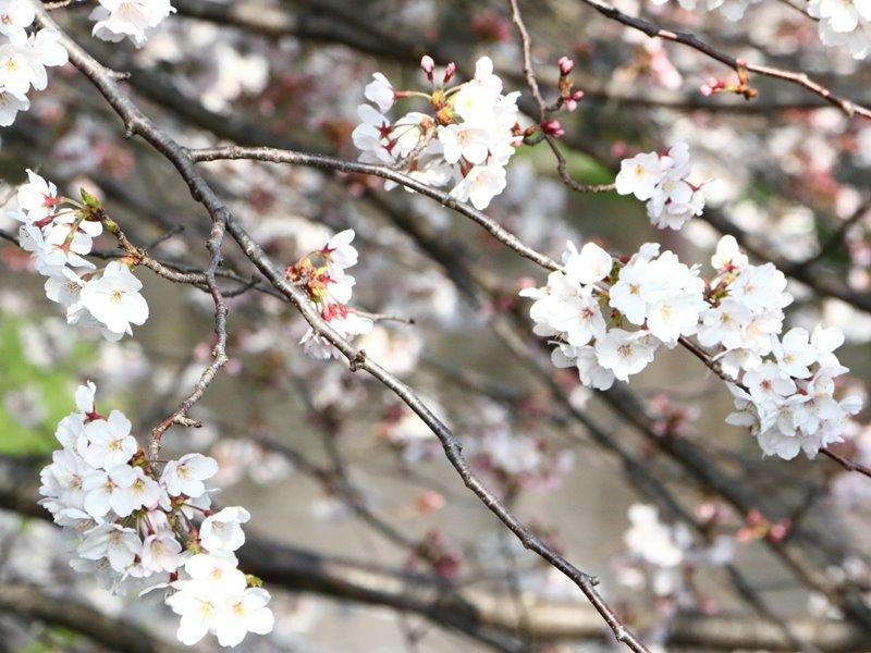 近江八幡の桜